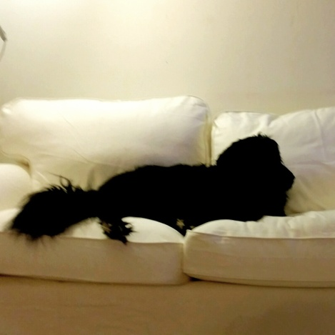 Black dog, White Sofa--Oops.